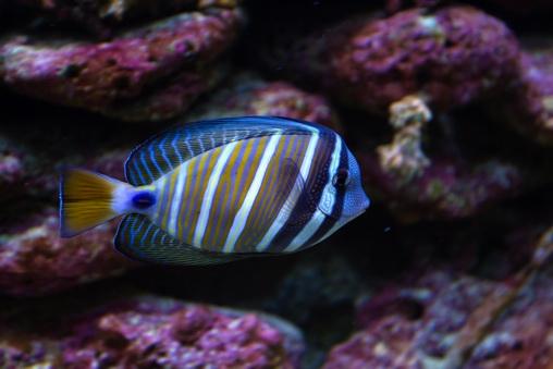 экзотическая рыбка в аквариуме
